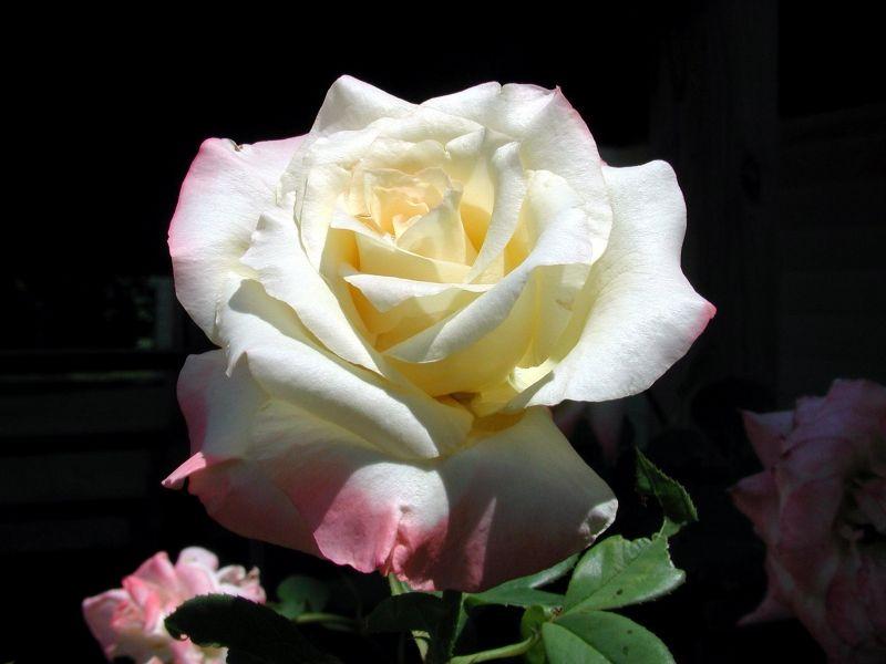 Fondos De Pantalla De La Rosa Blanca Wallpapers De La Rosa Blanca