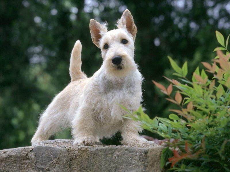 http://www.defondos.com/bulkupload/fondos-perros/Animales/Perros/Mini%20Schnauzer_800.jpg