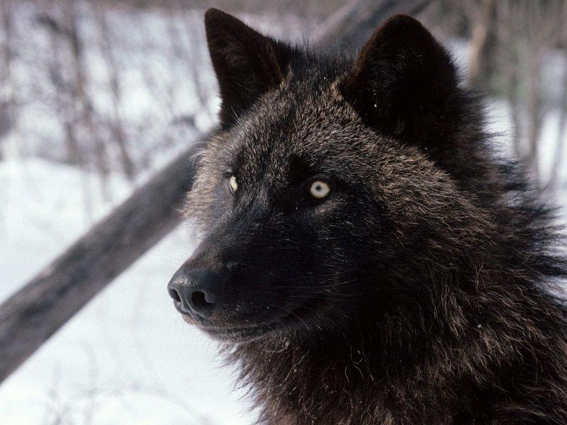 El Lobo Negro
