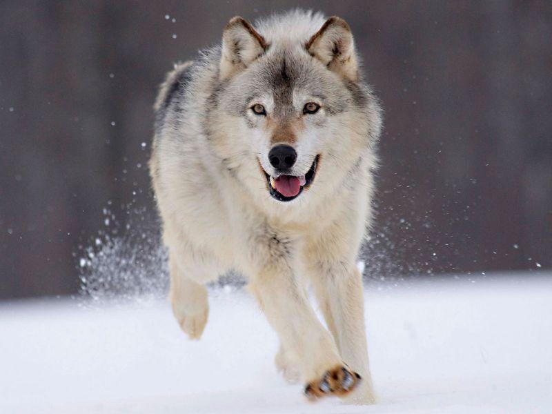 Imagenes de animales ( Juego ) Lobo%20Corriendo_800
