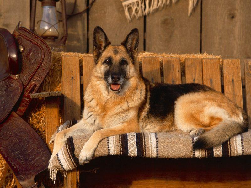 Fondos De Pantalla De German Shepherd Wallpapers De German