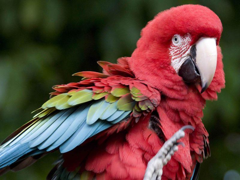 Fondos de Pantalla / Aves / Guacamaya Roja