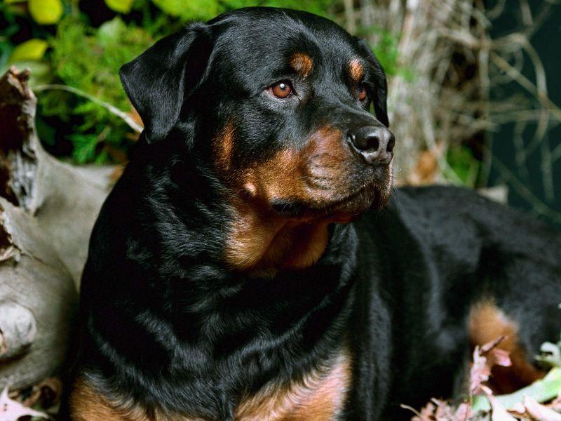 Fondos de Pantalla / Perros / Perro Rottweiler