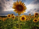 Bellos Girasoles