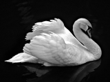 Bello Cisne Blanco