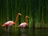 Bellos Flamingos