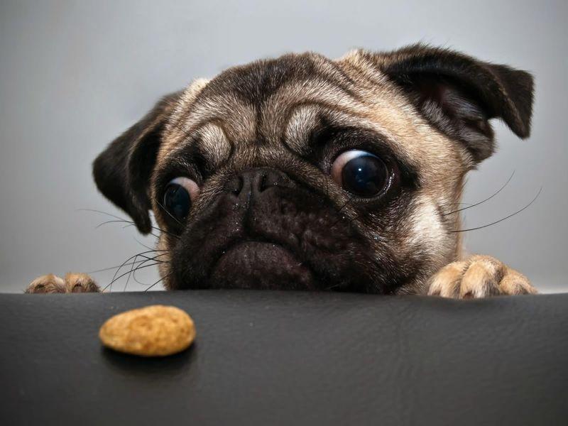 Fondos de Pantalla / Perros / Comida de Pug