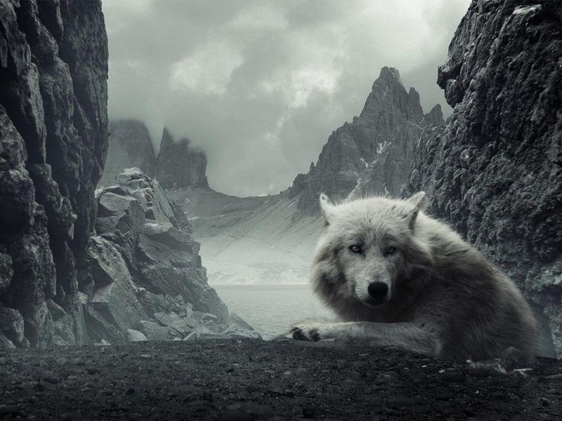 Fondos De Pantalla De Lobo En Montanas Wallpapers De Lobo En Montanas